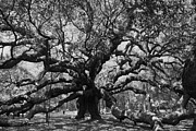 Tree Ceramics Posters - Angel Oak Poster by Mickey Butler