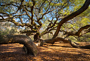 Charleston Sc Posters - Angel Oak Tree Charleston SC Poster by Dave Allen