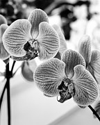 Orchids Art - ANGEL Orchids by William Dey