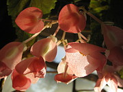 Peach Originals - Angel Wing Begonia In The Morning Sun by Elisabeth Ann