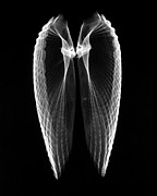 Shell Prints - Angel Wings Xray Print by William A Conklin