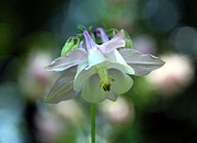 Angelic Aquilegia Print by  Andrea Lazar
