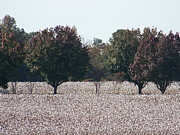 Cotton Fields Posters - Angelic Cotton Fields Poster by Kevin Croitz