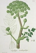 Botany Framed Prints - Angelica Archangelica from Phytographie Medicale by Joseph Roques  Framed Print by L F J Hoquart