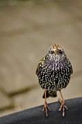 European Starling Metal Prints - Angry Bird Metal Print by Heather Applegate