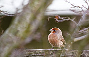 House Finch Photos - Angry Bird by Rebecca Cozart
