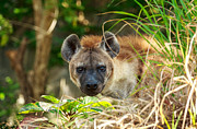 Attack Dog Photos - Angry Hyena by Niphon Chanthana