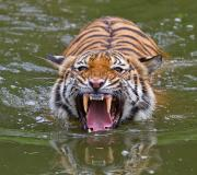 Cat Photos Photos - Angry Tiger by Louise Heusinkveld