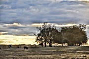 Country Scenes Metal Prints - Angus Evening Metal Print by Jan Amiss Photography