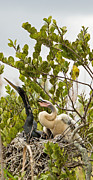Natural Focal Point Photography - Anhinga and Chick