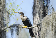 TJ Baccari - Anhinga and Spanish Moss