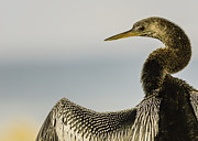 Quality Images Framed Prints - Anhinga Bird Framed Print by Cindy Bryant