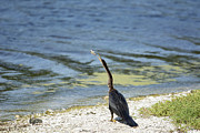 TJ Baccari - Anhinga catching a fish