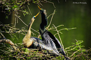 Florida Nature Photography Originals - Anhinga Love by Barbara Bowen