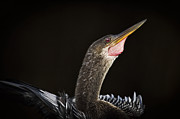 Anhinga Framed Prints - Anhinga on Black Framed Print by Patrick M Lynch