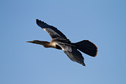 Florida Wild Turkey Prints - Anhinga plane over the blue sky Print by Andres Leon