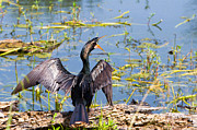 Wetland Framed Prints - Anhinga shouts Framed Print by Ellie Teramoto