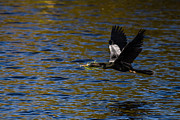 Anhinga Photos - Anhinga with a Branch by Andres Leon