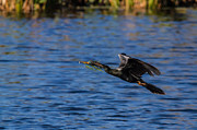 Anhinga Photos - Anhinga with another branch by Andres Leon