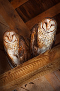 Vintage Looking Prints - Animal - Bird - A couple of barn owls Print by Mike Savad