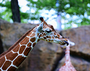 Long Neck Prints - Animal - Giraffe - sticking out the tounge Print by Paul Ward