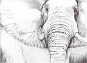 Richardson Drawings Posters - Animal Kingdom Series - Gentle Giant Poster by Bobbie S Richardson
