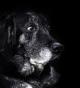 Old Labrador Posters - Animal - old dog Poster by Mythja  Photography