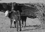 Mammals Photos - animals cows COW WITH CALF  black and white photography by Ann Powell