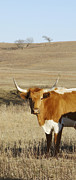 Prairie Sky Art Posters - animals cows photography LONGHORN IN WINTER  Poster by Ann Powell