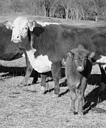 Animals Cows The Curious Calf Black And White Photography Print by Ann Powell