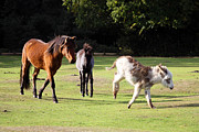 Terri Waters Framed Prints - Animals of the New Forest Framed Print by Terri  Waters
