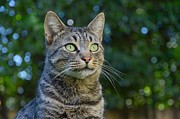 Tabby Cat Photos - Anitcipation by Fraida Gutovich