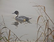 Peter Mathios - Ankeny Pintail