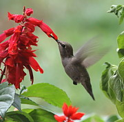 Hovering Prints - Anna Hummingbird in Salvia Print by Angie Vogel