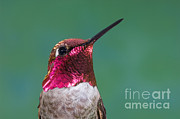 Anthony Mercieca - Annas Hummingbird
