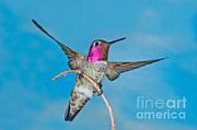 Anthony Mercieca - Annas Hummingbird Male