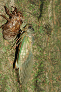 Judy Whitton - Annual Cicada