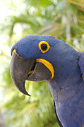 Macaw Photos - Anodorhynchus hyacinthinus - Hyacinth Macaw by Sharon Mau