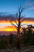 Oldest Living Tree Posters - Another Days End - Sunset view of the Ancient Bristlecone Pine Forest. Poster by Jamie Pham