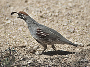 Kenneth Hadlock - Another Desert Quail