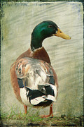 Looking Sideways Prints - Another duck ... Print by Chris Armytage