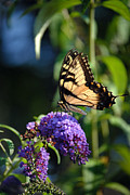 Blooms  Butterflies Prints - Another Monarch Print by Skip Willits
