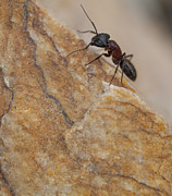 Daysray Photography Prints - Ant Macro Print by Fran Riley