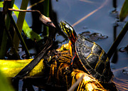 Pond Lake Photos - Ant Meets Turtle by Bob Orsillo