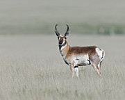 Pronghorn Photos - Antelope Buck by Gary Langley