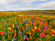 Antelope Valley California Poppy Reserve Print by Nadine and Bob Johnston