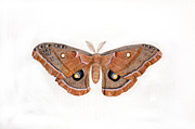 Inger Hutton - Antheraea polyphemus