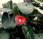 Hawaiian Photography Originals - Anthurium  by Ruth  Housley
