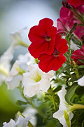 Red Flowers Digital Art - Antique Petunia by Christina Rollo