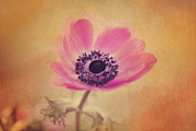 Carolyn Rauh - Antique Pink Anemone